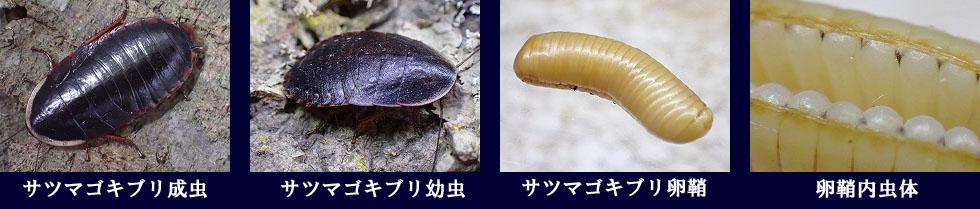 の 卵 ゴキブリ